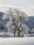 Árboles de abedul, pubescens de Betula, en paisaje nevoso retroiluminado de la montaña del invierno Fotografía de archivo libre de regalías