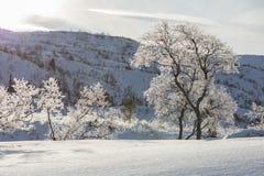 Árboles de abedul, pubescens de Betula, en paisaje nevoso retroiluminado de la montaña del invierno Fotografía de archivo