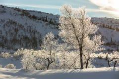 Árboles de abedul, pubescens de Betula, en paisaje nevoso retroiluminado de la montaña del invierno Foto de archivo