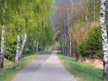 Árboles de abedul que alinean el camino Fotografía de archivo libre de regalías
