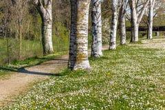 Árboles de abedul que confinan la carretera nacional cerca del campo de margaritas Foto de archivo