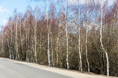 Árboles de abedul que se colocan a lo largo del camino Imagen de archivo libre de regalías