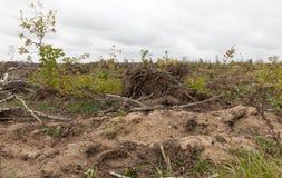 Árboles de abedul quebrados de los árboles de la brisa Imagen de archivo