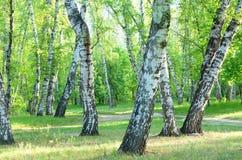 Árboles de abedul, rastro del bosque, verano Imagen de archivo libre de regalías