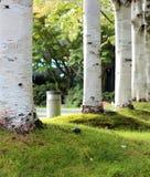 Árboles de abedul relajantes en parque Imagen de archivo libre de regalías