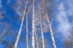 Árboles de abedul sin las hojas contra el cielo azul Paisaje brillante de la primavera Fotografía de archivo