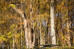 Árboles de abedul trémulos en Autumn Reflected en agua Imagen de archivo libre de regalías