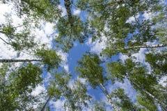 Árboles de abedul, visión de debajo contra fondo del cielo Fotografía de archivo
