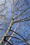 Árboles de abedul y cielo azul Imágenes de archivo libres de regalías