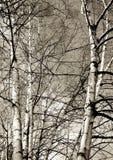 Árboles de abedul y cielo azul Fotos de archivo libres de regalías
