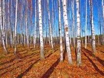 Árboles de abedul y cielo azul profundo Foto de archivo libre de regalías
