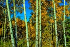 Árboles de abedul y colores de la caída Fotografía de archivo