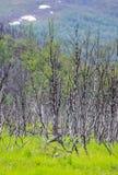 Árboles de abedul y fondo de la hierba en Noruega Imágenes de archivo libres de regalías