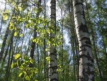 Árboles de abedul y hojas del verde que brillan intensamente en luz del sol Imagenes de archivo