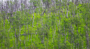 Árboles de abedul y Mountain View en Noruega Fotos de archivo