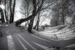 Árboles de abedul y sombras de ellas en la nieve Foto de archivo