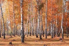Árboles de abedules blancos en otoño Foto de archivo