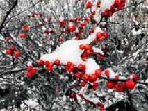 Árboles de acebo en nieve Fotos de archivo
