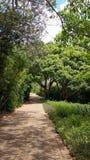 Árboles de alcanfor Fotografía de archivo