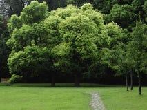Árboles de alcanfor gemelos perfectos Imagen de archivo