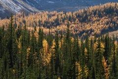 Árboles de alerce alpestres del otoño Fotos de archivo