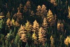 Árboles de alerce alpestres del otoño Imagenes de archivo