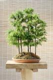 Árboles de alerce de los bonsais imagen de archivo libre de regalías