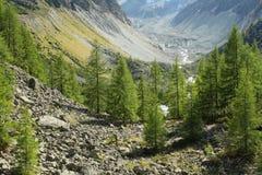 árboles de alerce europeo que crecen en valle en Suiza fotografía de archivo