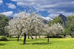 Árboles de almendra Fotos de archivo