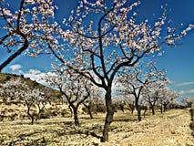 Árboles de almendra foto de archivo