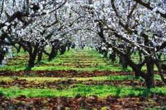 Árboles de almendra Imagen de archivo libre de regalías