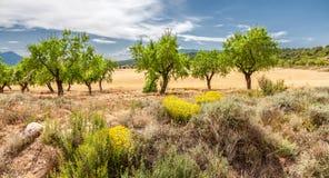 Árboles de almendra Fotografía de archivo libre de regalías