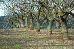 Árboles de almendra Foto de archivo libre de regalías