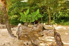 Árboles de almendra del bebé en una playa del Caribe Imagen de archivo