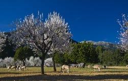 Árboles de almendra en la floración Imágenes de archivo libres de regalías