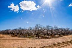 Árboles de almendra que comienzan a florecer Foto de archivo