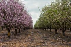 Árboles de almendra que florecen con las flores rosadas y blancas Fotografía de archivo