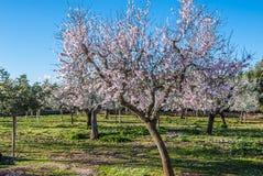 Árboles de almendra que florecen en sol del invierno en Majorca, España Fotografía de archivo