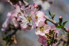 Árboles de almendra rosados y blancos florecientes con la pequeña abeja Fotos de archivo