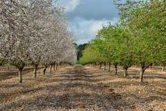Árboles de almendra verdes y blancos Imagen de archivo