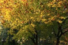 Árboles de arce Fotografía de archivo libre de regalías