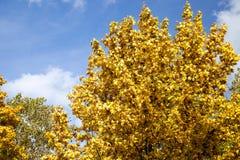 Árboles de arce amarilleados en la caída Imágenes de archivo libres de regalías