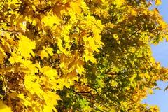 Árboles de arce amarilleados en la caída Imagen de archivo libre de regalías