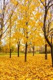 Árboles de arce amarillos Fotos de archivo