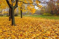 Árboles de arce amarillos Fotografía de archivo