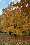 Árboles de arce coloridos del otoño Foto de archivo