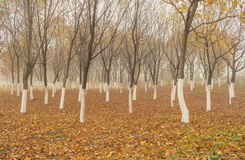 Árboles de arce del otoño Imagenes de archivo