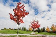 Árboles de arce jovenes en otoño Fotos de archivo