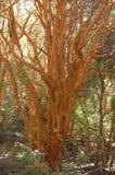 Árboles de Arrayan - Neuquen - la Argentina Fotos de archivo libres de regalías