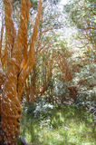 Árboles de Arrayan - Neuquen - la Argentina Imagenes de archivo